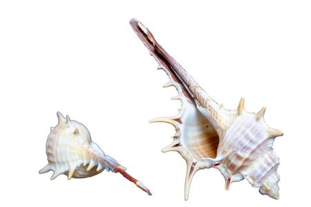 スパイラル貝。