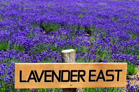east: Lavender East Stock Photo