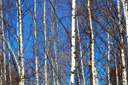 白樺の森。白樺林の秋。 写真素材 - 61031201