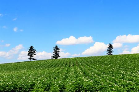 potato tree: Biei hill. Flower of potato field.