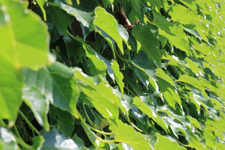 ivy wall: Ivy wall.