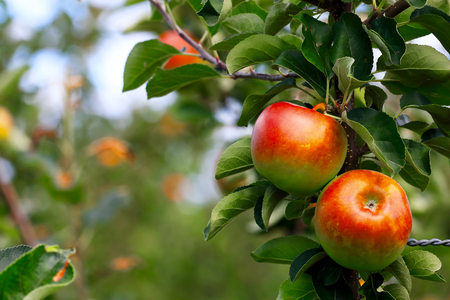 Apple. Apple Garden. Stock Photo, Picture And Royalty Free Image ...