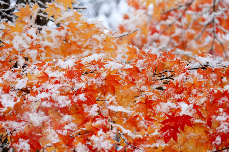 Falling snow and autumn leaves.