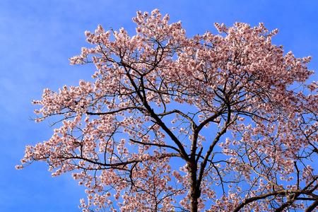oka: Cherry blossoms and blue sky. Stock Photo