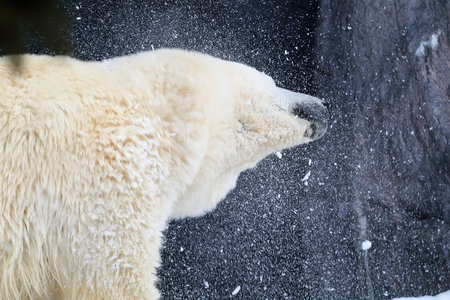 his: White bear shaking his head