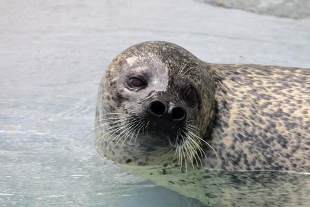 sea calf Stock Photo