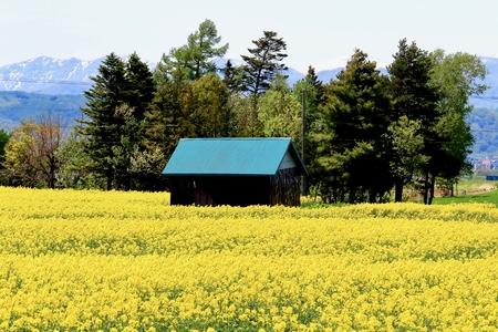 Rape blossoms and huts 스톡 콘텐츠