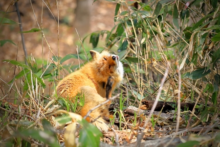 Red fox scratching the head with a hind leg