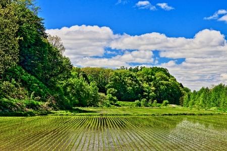 Spring rice field