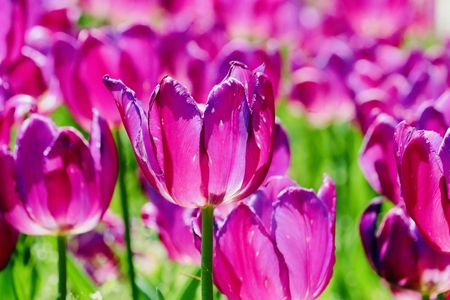 Tulip flowers background. 写真素材