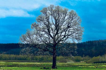 Kitakobushi Tree large tree of the Japanese kitakobusi
