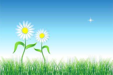 golden daisy: Manzanilla en zona verde  Vectores