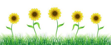 Sunflower on green field Vector