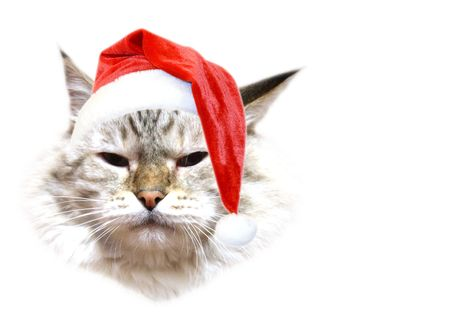 Christmas cat Stock Photo - 3934111