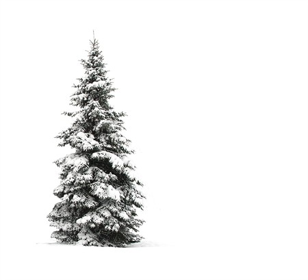 black and white photography: Pine tree isolated on white