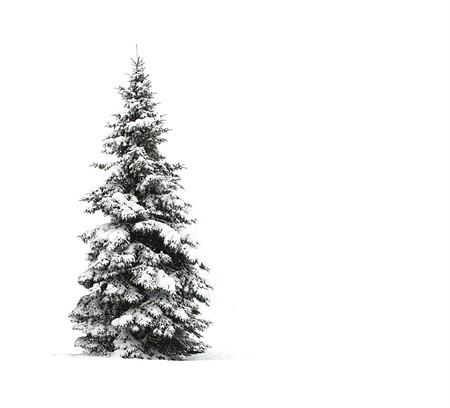 bosque con nieve: Pino aislado en blanco