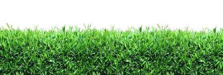 hedge plant: Spring, green grass background