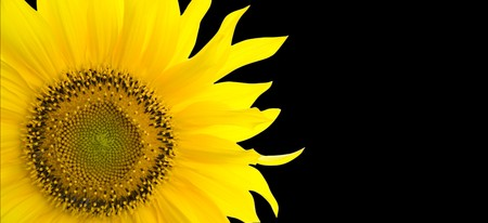 Sunflower background with place for your text photo