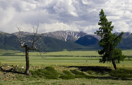 Bare dead tree and green pine on meadow near mountains photo