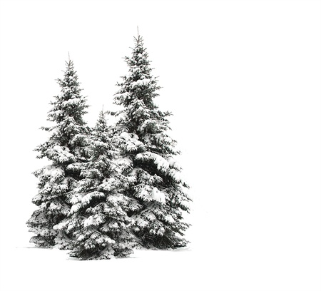 Pine trees isolated on white  photo