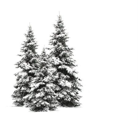 Pine trees isolated on white Stock Photo - 8279364