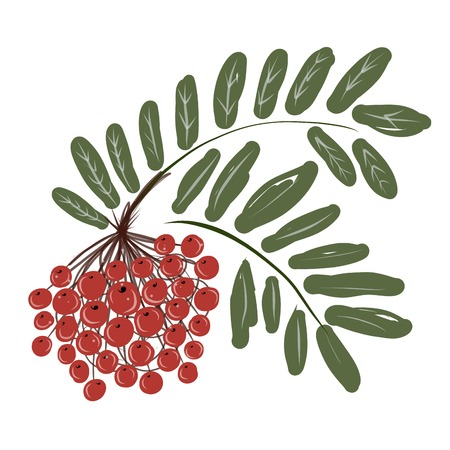 Rowan branch with berries for your design Stock Vector - 24753708
