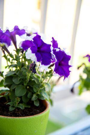 Pot of Petunia flowers on the balcony