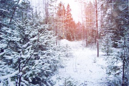 Snow forest in Karelia, Mount filina, Lakhdenpokhsky