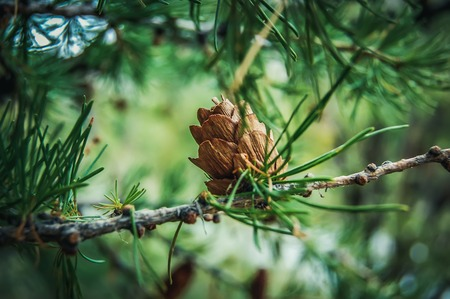 ovulate: Ovulate cone of larch tree, spring, beginning of June Stock Photo