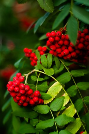 rowan tree: Blurred background - rowan tree with bright red berries Stock Photo