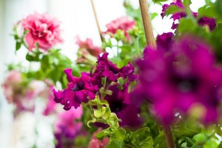 Beautiful colored petunia flowers in the garden