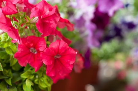 Beautiful colored petunia flowers in the garden