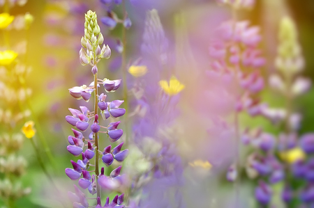 Closeup of a colorful garden of blooming Lupine flowers