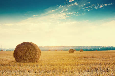 Round straw bales in russian fields on sunset and blue sky Standard-Bild