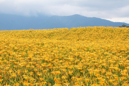 Beautiful scenery of daylily flowers with village and mountains in a sunny day
