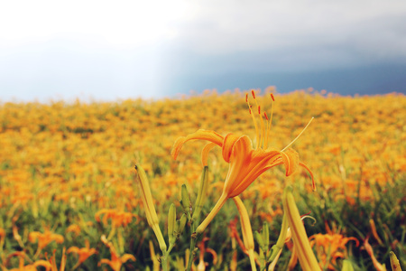 Beautiful scenery of daylily flowers with village and mountains in a sunny day Stock Photo - 86104943
