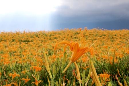 Beautiful scenery of daylily flowers with village and mountains in a sunny day Stock Photo - 86492430
