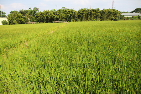 Taiwan agriculture rural rice Stock Photo