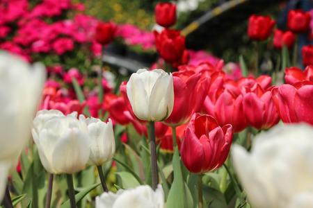 Taiwan Taichung Tulipa