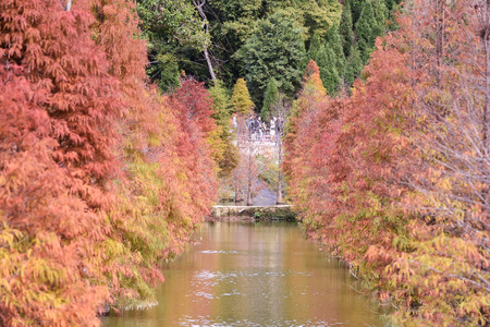 Colorful winter bald cypress turning red in autumn at Garden in Sanwan, Miaoli, Taiwan.