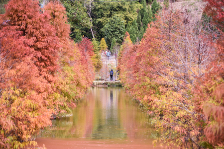 Colorful winter bald cypress turning red in autumn at Garden in Sanwan, Miaoli, Taiwan.