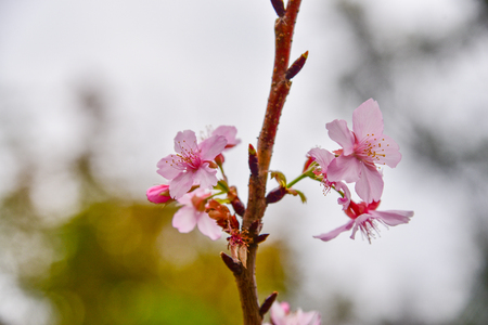 Beautiful pink and white cherry blossom flowers wallpaper background 스톡 콘텐츠