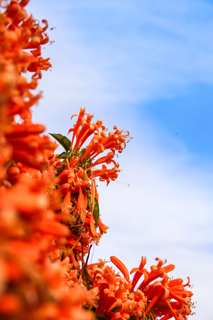 Orange trumpet flowers (Pyrostegia venusta) blooming with green leaves background. Pyrostegia venusta is also known as Orange trumpet, Flame flower, Fire-cracker vine, flamevine, orange trumpetvine. 스톡 콘텐츠