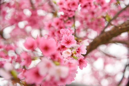 Taiwan Cherry blossoms in full bloom.