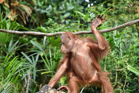 Orangutan in the  Zoo at the tree 스톡 콘텐츠