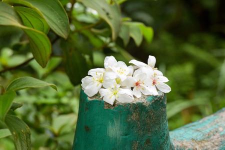 Vernicia fordii (Tung oil flower)
