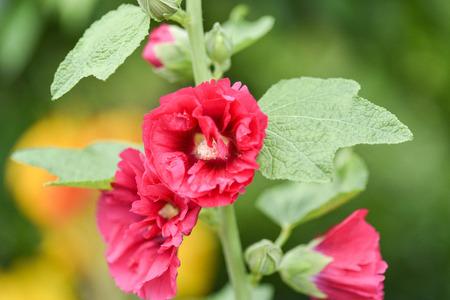 Colorful Malva Alcea rosea hollyhock garden flowers background