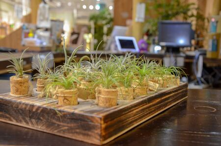 TillandsiaPlants that can grow without soil