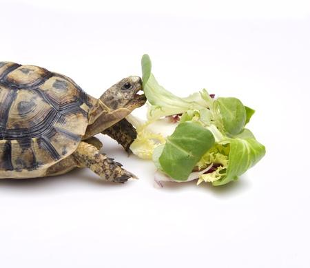 ancient turtles: tortoise eating salad