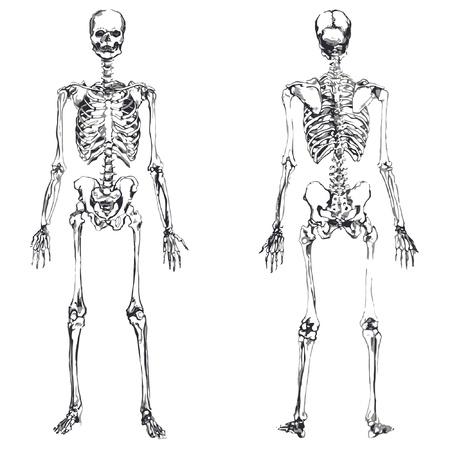 skeletal system: front and back skeleton isolated over white background Illustration
